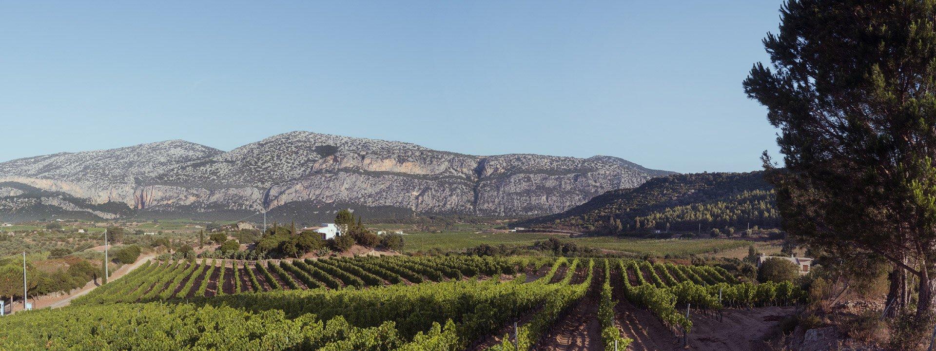 Vineyards Cannonau Sardinia Panorama
