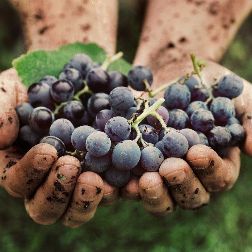 Harvest Cannonau Dorgali Sardinia