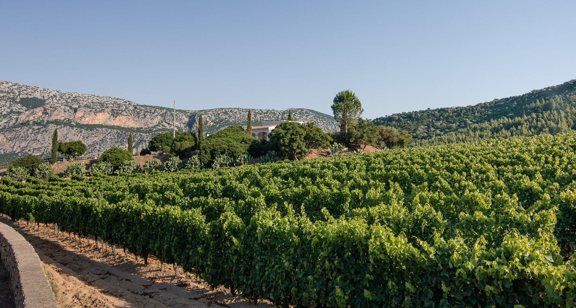 Vineyard Atha Ruja Dorgali Sardinia